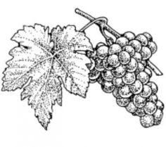 Drawn grapes pencil sketch On grapes image Best more