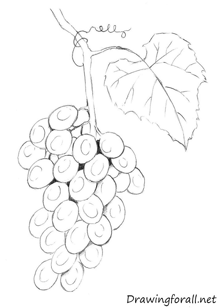 Drawn grapes Draw learn Draw to net