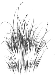 Drawn pen grass 2 FINE SIBLEY MIKE DRAWING