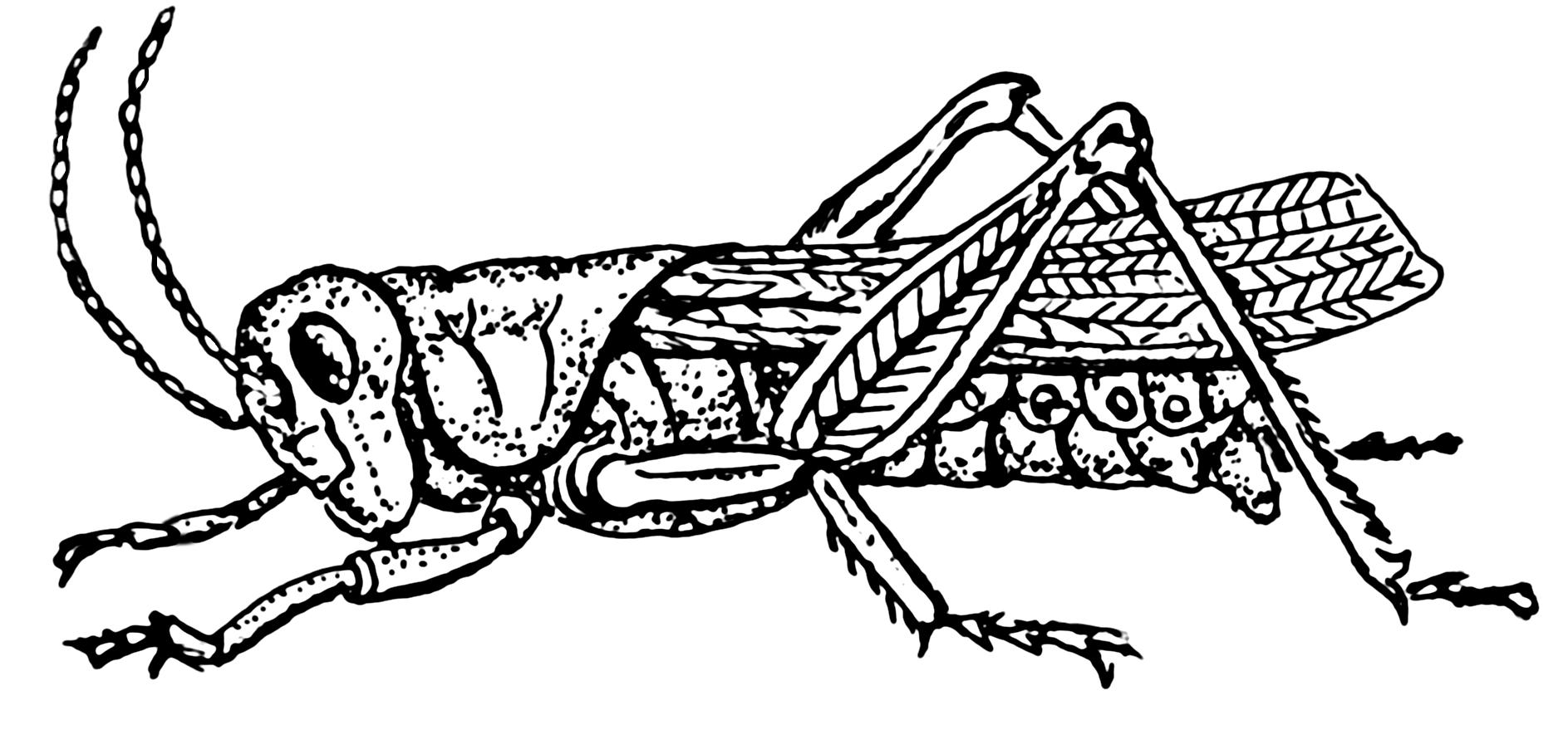 Drawn grasshopper Team  Caz Ye Marc