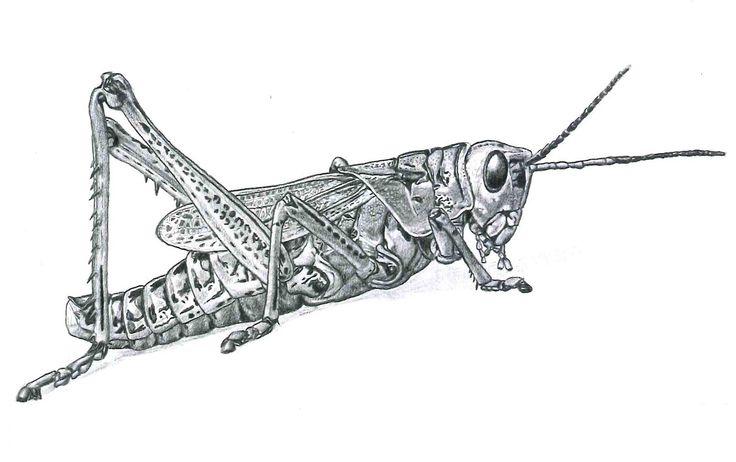 Drawn grasshopper Images Pencil Realistic Grasshopper Grasshopper