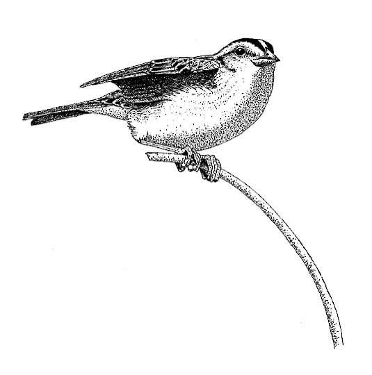 Drawn grasshopper Drawn Bird Birds Territorial Sparrow of Grasshopper