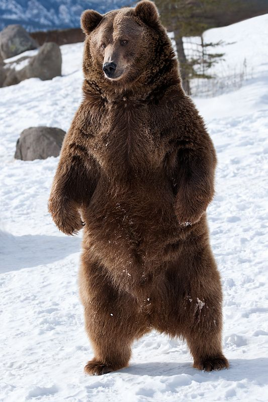 Bear clipart north #6