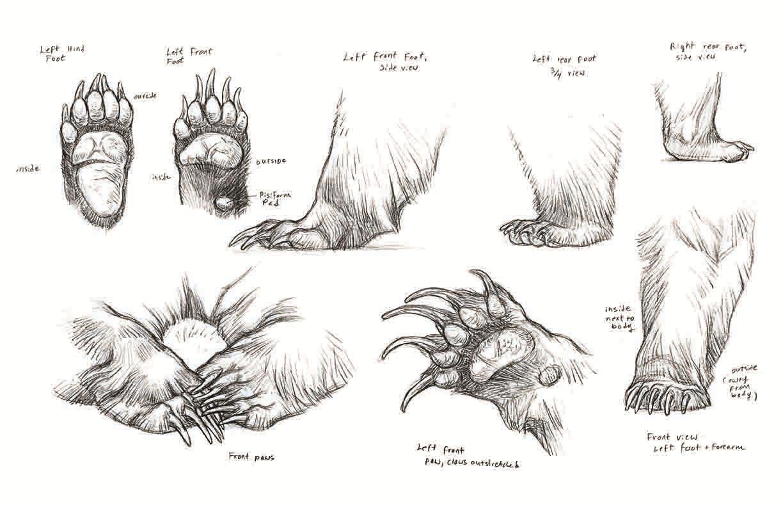 Drawn polar  bear anatomy Anatomy Bear Claw Pinterest Anatomy