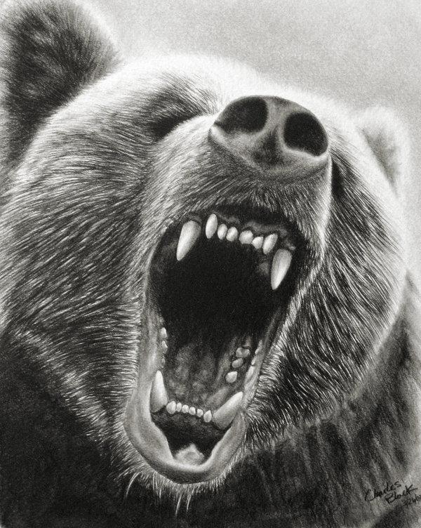 Drawn grizzly bear bear head Growling Head Grizzly bear Growling