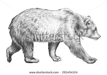 Drawn grizzly bear hand drawn Dangerous grizzly walking sketch drawn