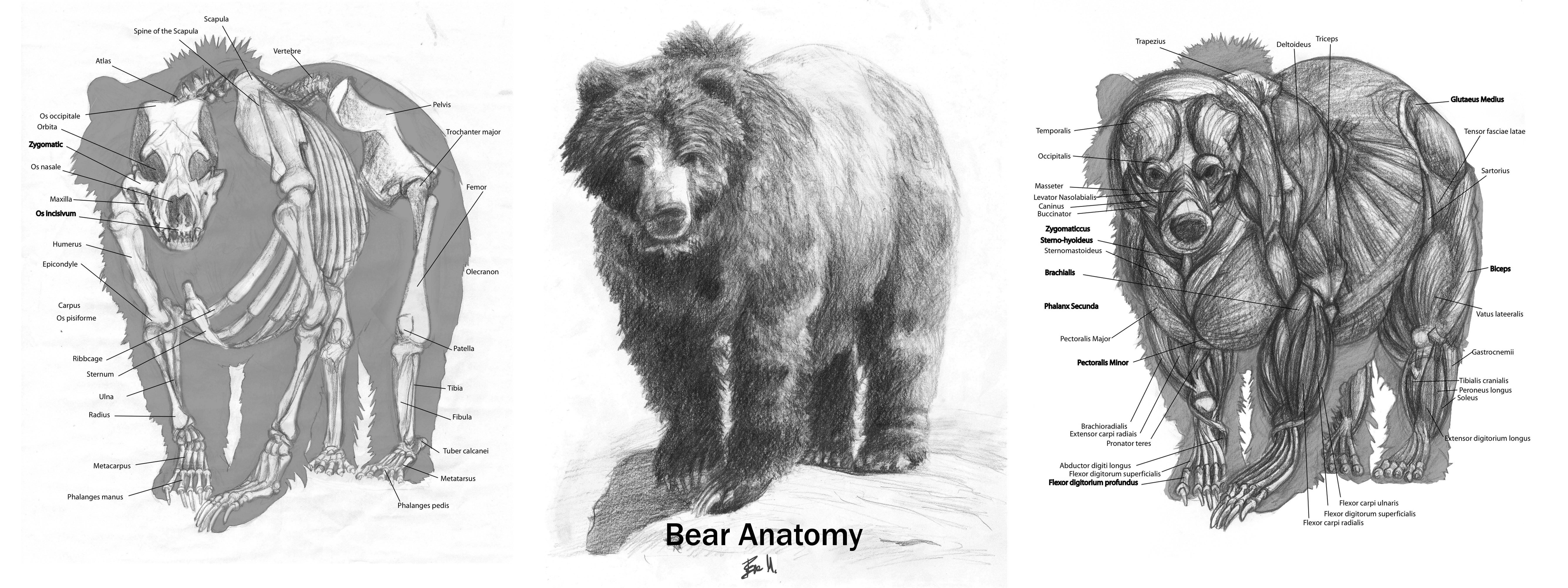 Drawn polar  bear anatomy By Anatomy: DeviantArt Grizzly Bear