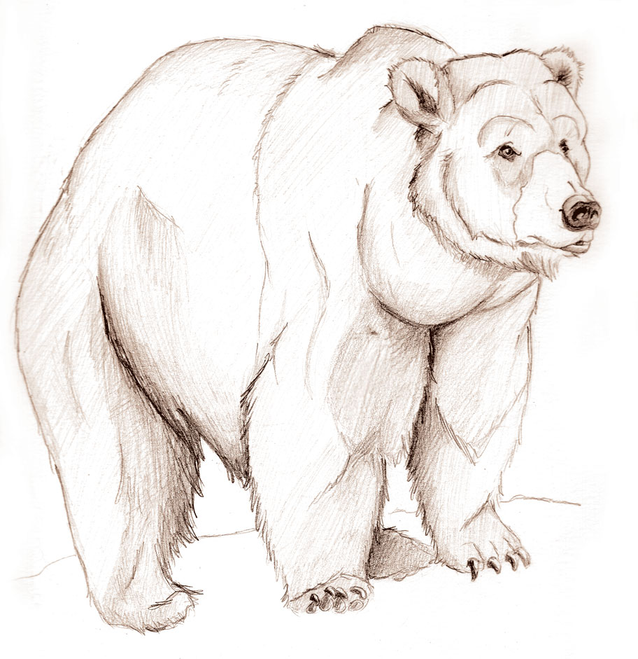 Drawn grizzly bear sketch Sketch Bear Bear Angry Angry
