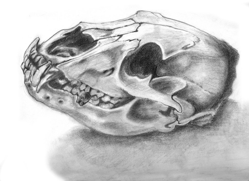Drawn polar  bear skull Bear Bear photo#4 drawing Drawing