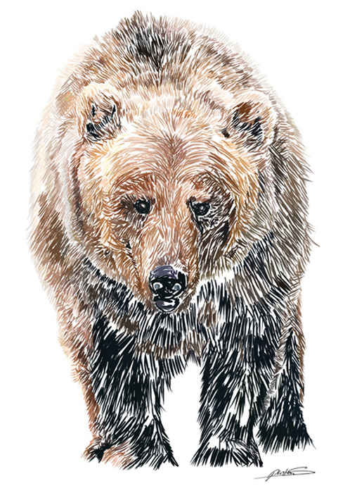 Drawn grizzly bear strong Animal illustration of PrintGrizzly SketchBear