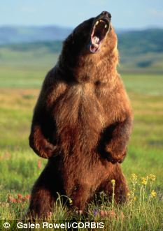 Drawn grizzly bear strong Hiker Denali a  after