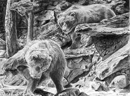 Drawn grizzly bear strong Tuition additional graphite PLUS drawing