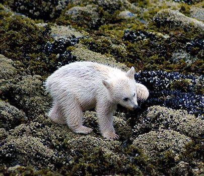 Drawn grizzly bear touching spirit bear Just be Bear/Great Pinterest since
