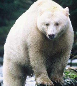 Drawn grizzly bear touching spirit bear 10 touching Pinterest best images