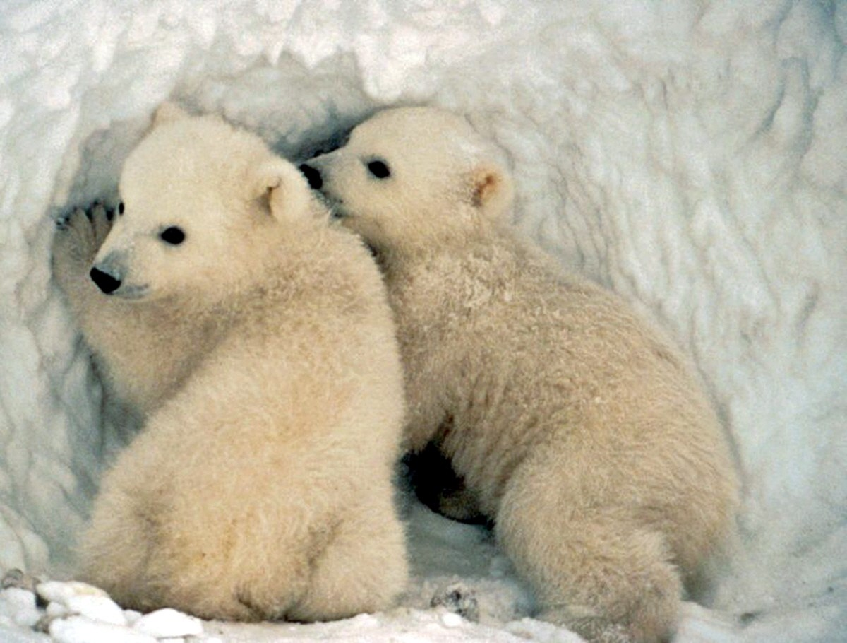 Drawn polar  bear real baby #11
