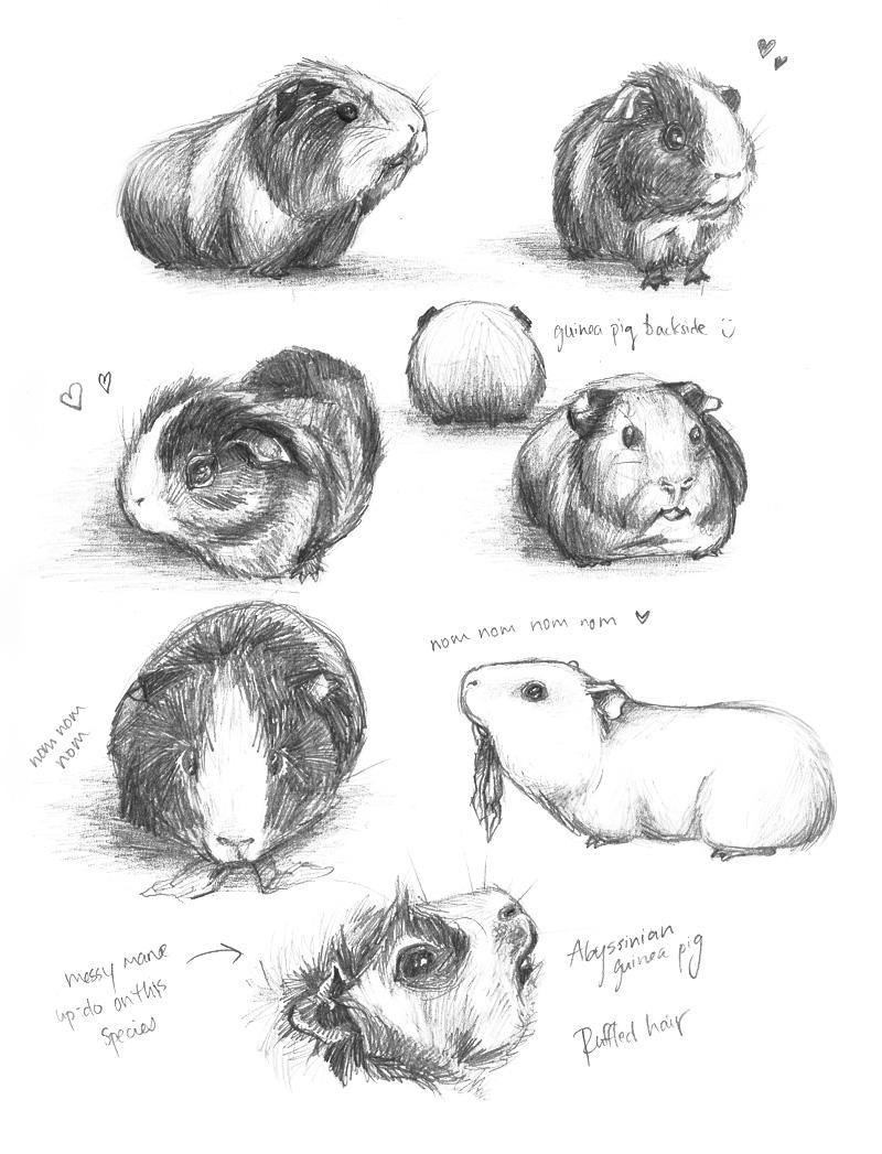 Drawn guinea pig  anne anne meh by