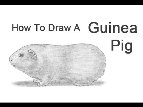 Drawn guinea pig Guinea a Draw wikiHow to