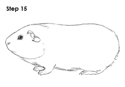 Drawn guinea pig Drawing Draw Drawings Color To