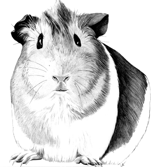 Drawn guinea pig Hand Search patterns Color Google