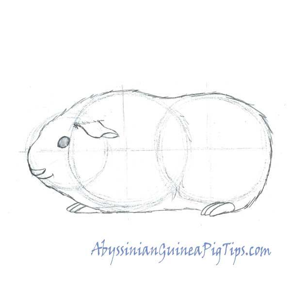 Drawn guinea pig Pig a Draw Abyssinian Pig
