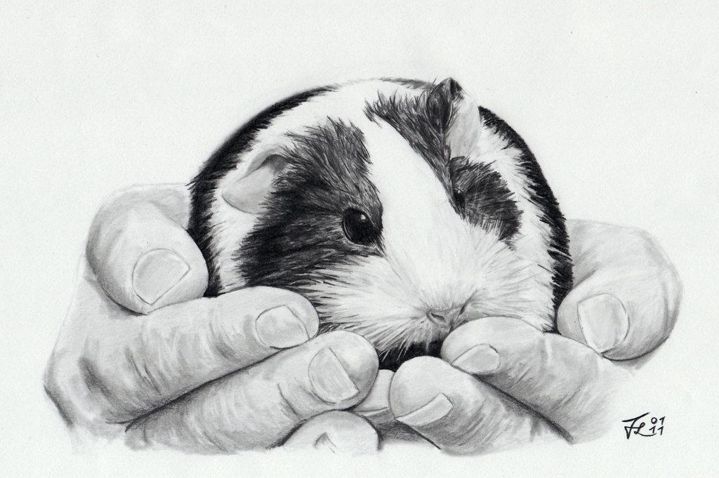 Drawn guinea pig Guinea Sketchdump: Derfblue by by