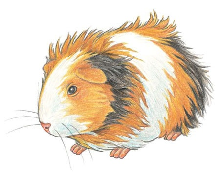 Drawn guinea pig clipart On are drawing you a