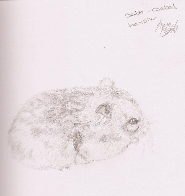 Drawn hamster dwarf hamster Dwarf Drawing Dwarf photo#4 drawing
