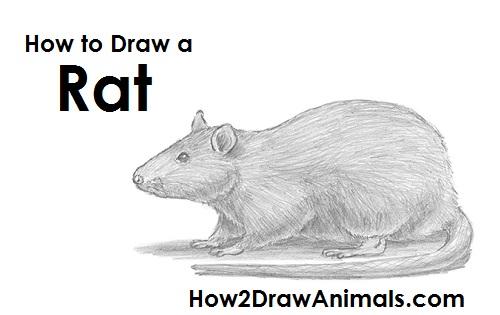 Drawn rat realistic Rat Draw a to Rat