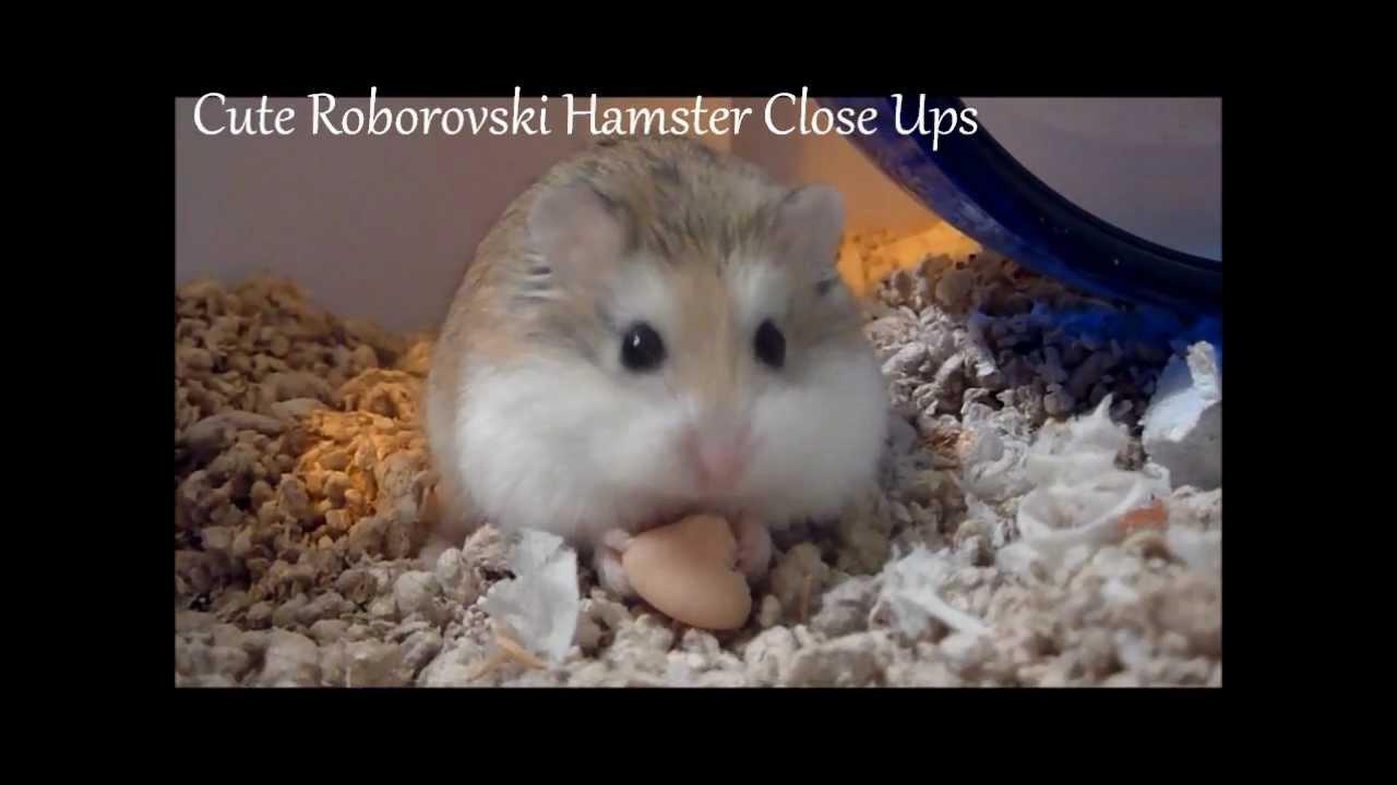 Drawn hamster robo Dwarf Roborovski Cute Dwarf Hamsters
