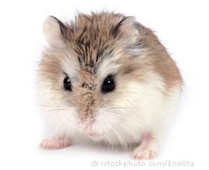 Drawn hamster robo Any Roborovski average breeds years