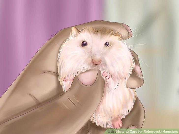 Drawn hamster robo Care Step titled wikiHow Roborovski