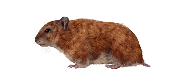 Drawn rodent mammal Their to Draw How Small