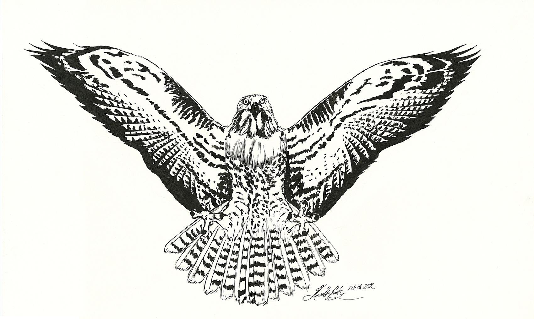 Drawn hawk Drawing Flight Drawing flight Hawk