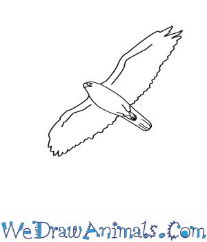 Drawn hawk Draw to Ferruginous a How