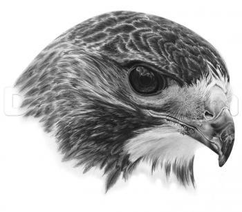 Drawn hawk A to by Draw Draw