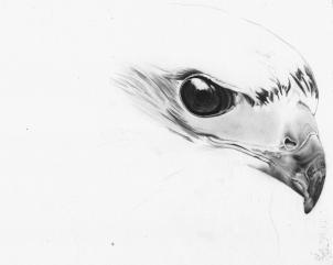 Drawn hawk hawk eye How draw Draw hawk a