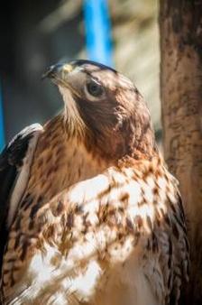 Drawn hawk hunter Download predator files and animal