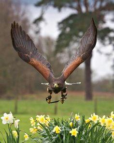 Drawn hawk hunter  birds Prey: Birds raptors