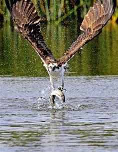 Drawn hawk hunter Historic osprey drawing the haliaetus)