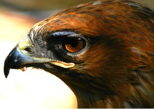 Drawn hawk mean His Symbolism has sharp apart