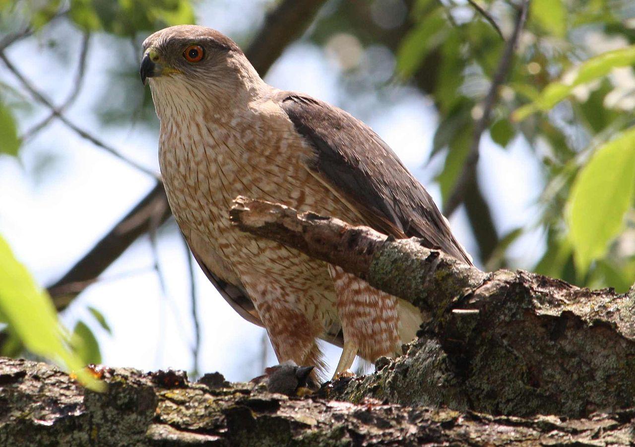Drawn hawk mean Hawk Hawk Hawk Hawk Coopers