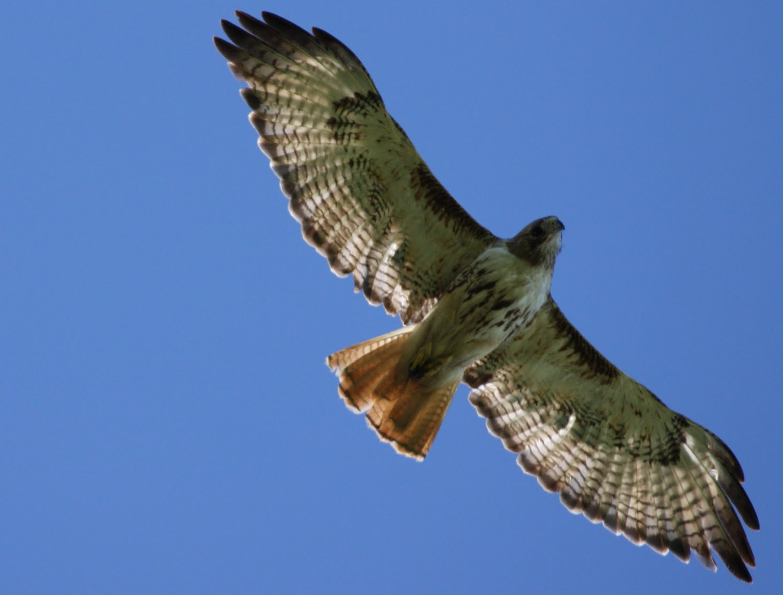 Drawn hawk mean Totem Hawk tailed Meaning Red