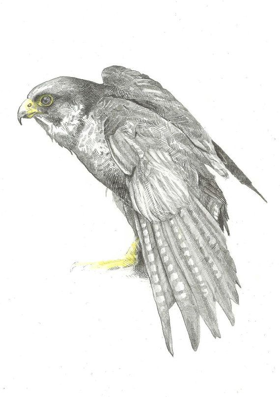 Peregrine Falcon clipart drawing To DrawingsPencil Pinterest Eagle Class