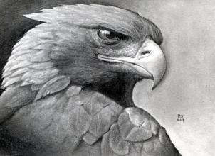 Drawn hawk shaded Golden Eagle Eagle eagle a
