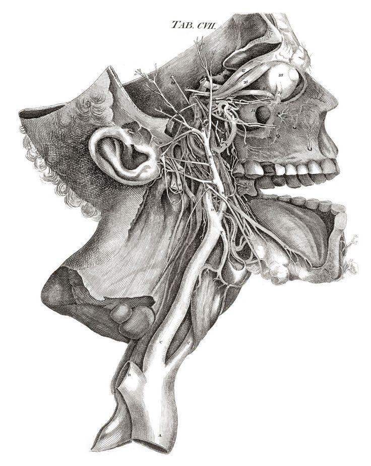 Drawn head anatomical Ideas DrawingAnatomy anatomy Pinterest planche