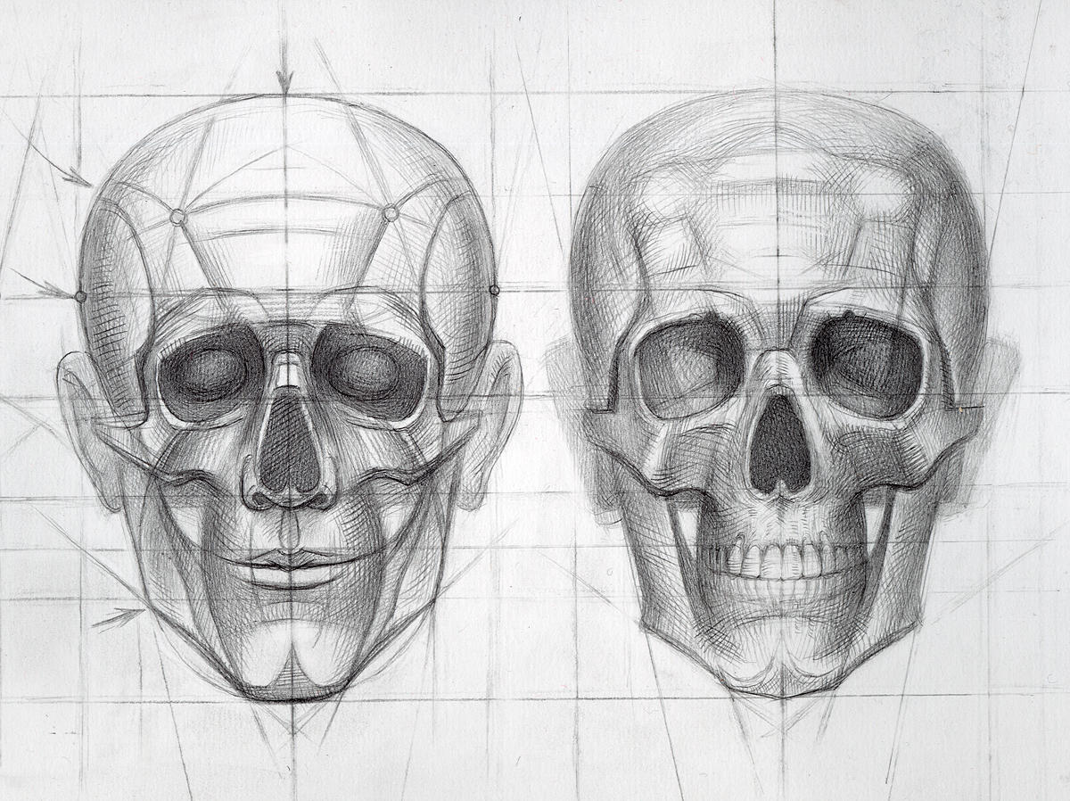 Drawn ssckull anatomy For anatomy · ReferenceDrawing Search