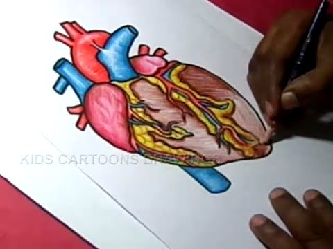 Drawn hearts color Anatomy how Heart for youtube