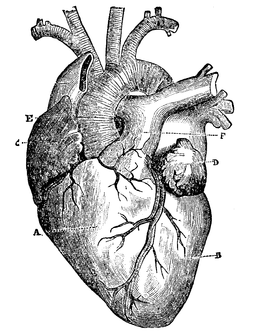 Drawn heart human heart 10 Top Most About Interesting