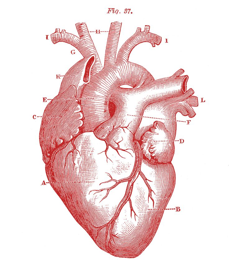 Drawn hearts body Heart Best Images Human ideas