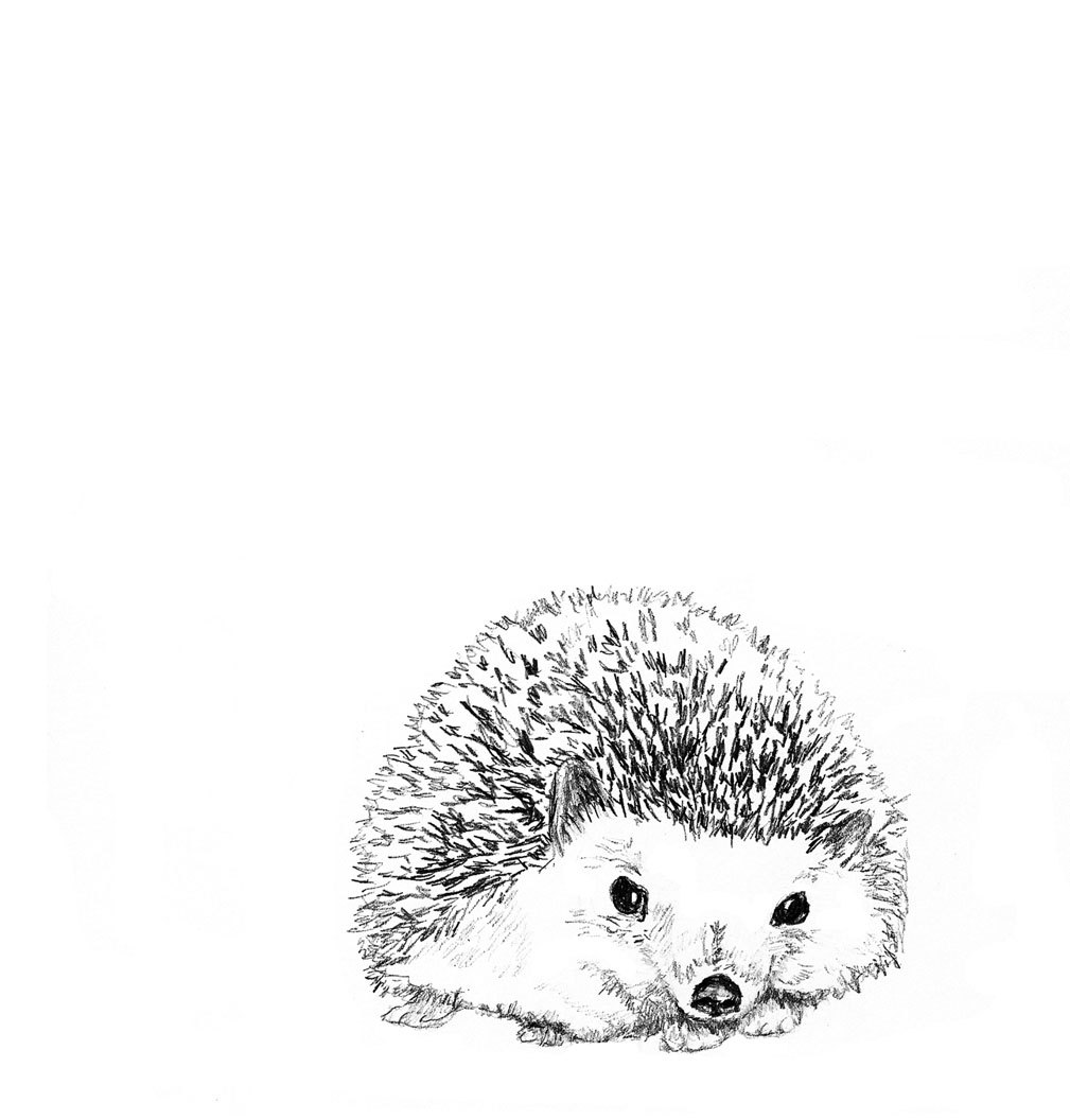 Drawn hedgehog porcupine Drawing and White Hedgie Hedgie